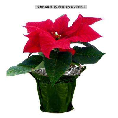 1 pt. Fresh Red Poinsettia with Green Pot Cover (Live)