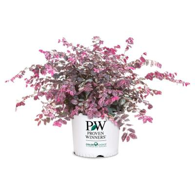 2 Gal. Variegated Jazz Hands Loropetalum Shrub with Pink and White Variegated Foliage
