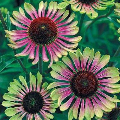 3 in. Pot Green Twister Coneflower (Echinacea), Green Flowers Live Potted Perennial Plant (1-Pack)