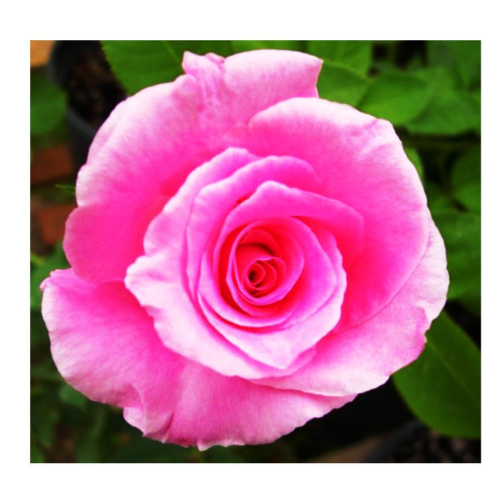 Fragrant Pink Memory