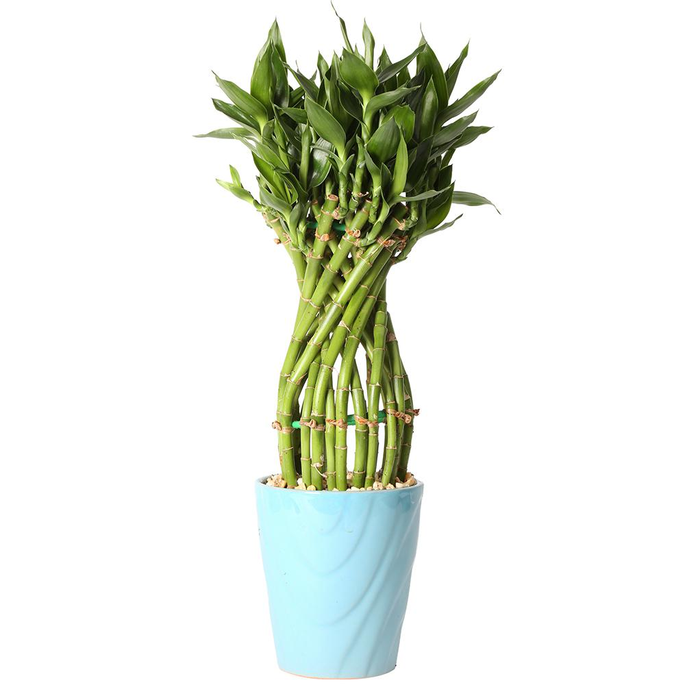 Costa Farms Medium Lucky Bamboo Flower Braid In 4 5 In Samba