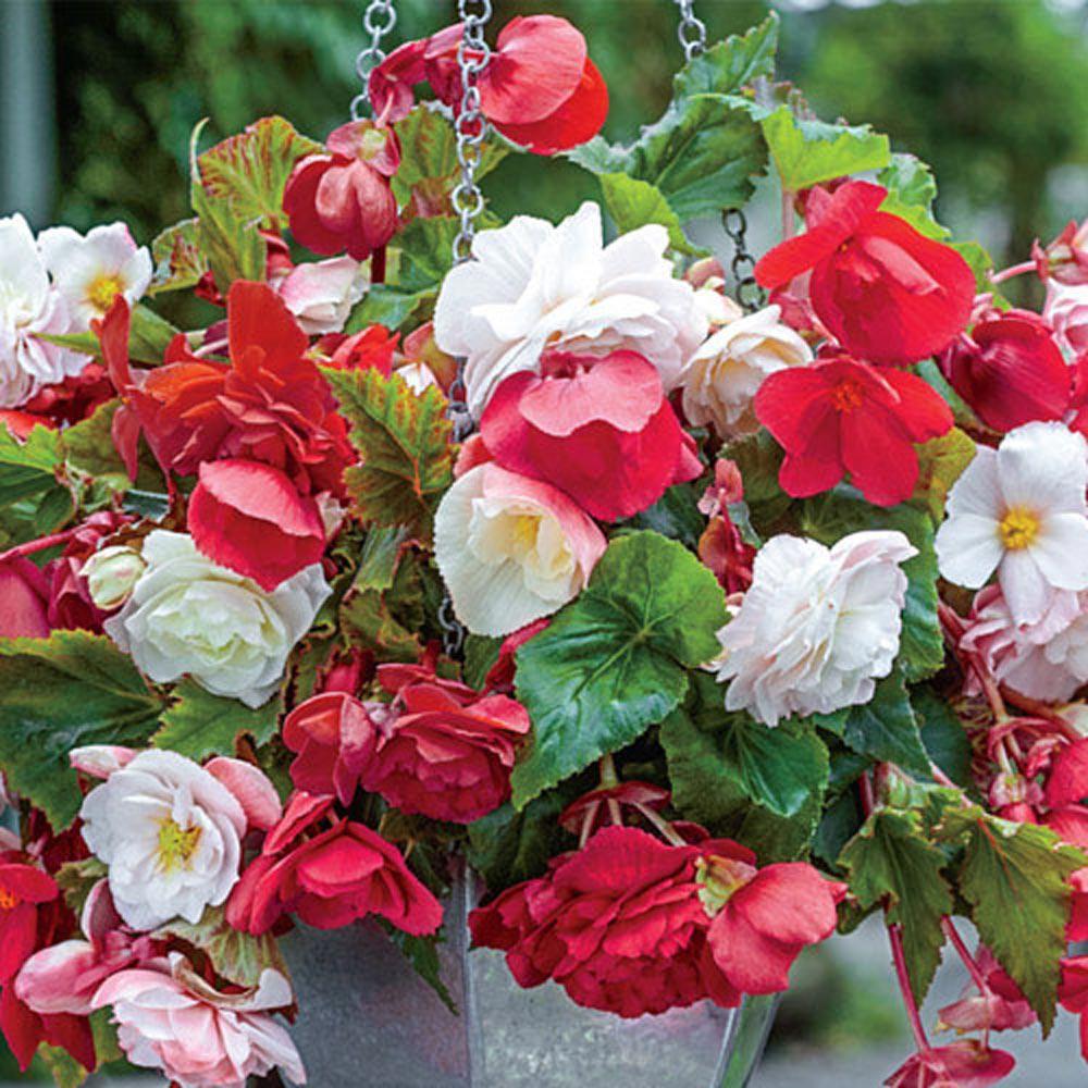 Breck S Fragrant Cascading Begonia Blend Bulbs 3 Pack