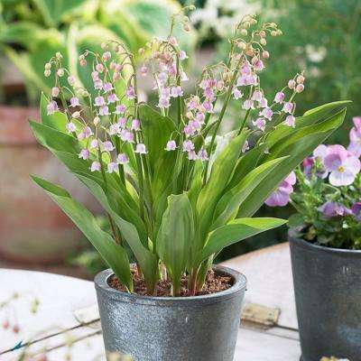 Lily of the Valley Pink Roots (Pack of 6)