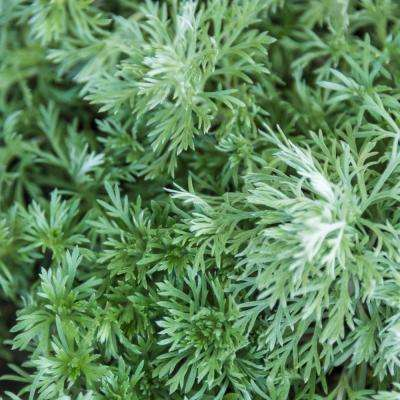2.5 qt. Silver Mound Artemisia, Live Perennial Plant, Silver Foilage (1-Pack)