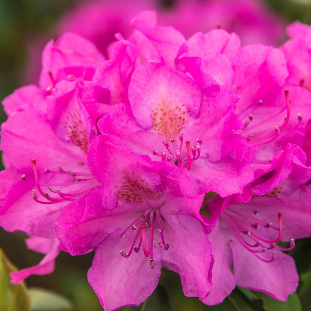 Spring Hill Nurseries English Roseum Rhododedron Starter Hedge Kit
