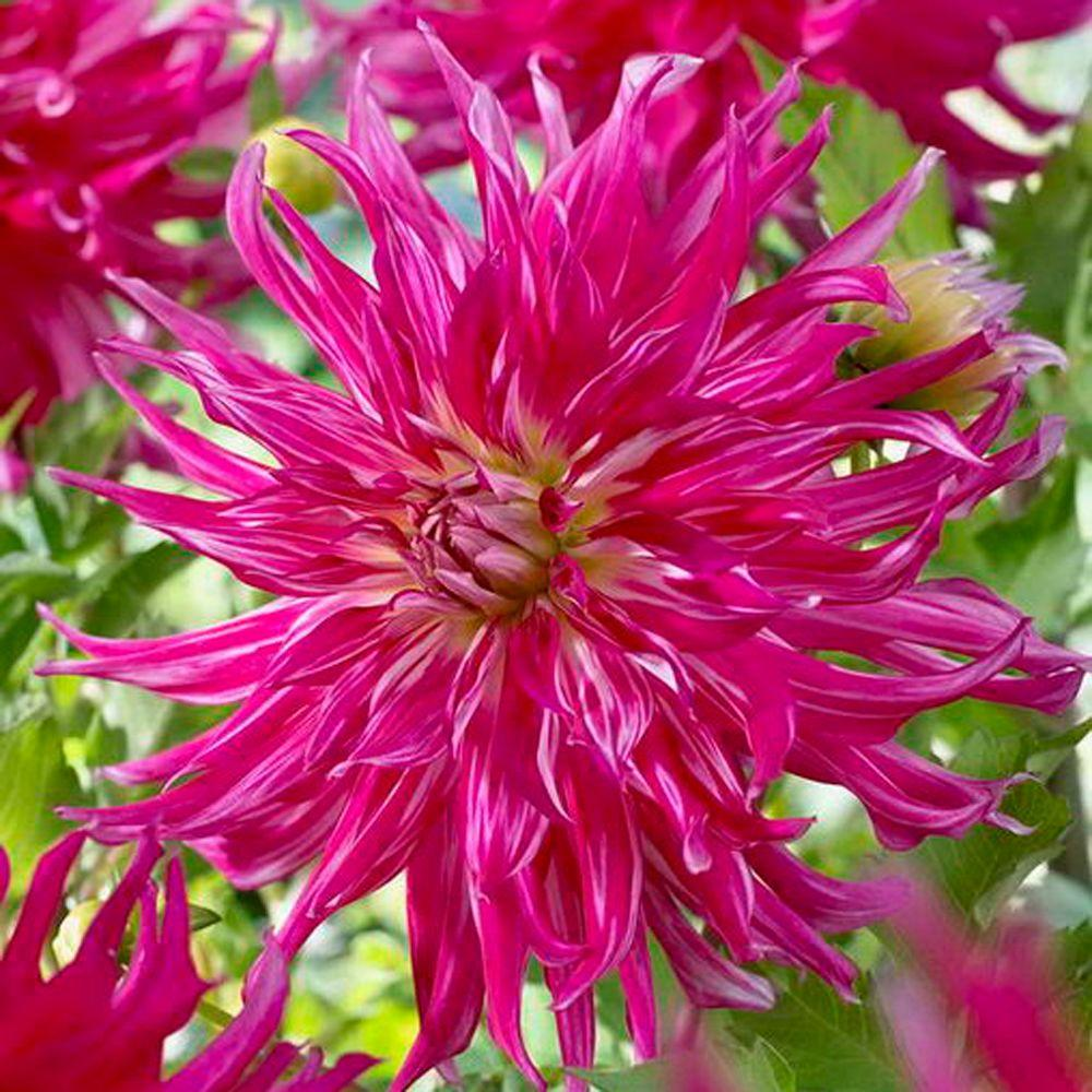 null Dahlia Cactus S.R. Lee Dormant Tubers (4-Pack)-DISCONTINUED