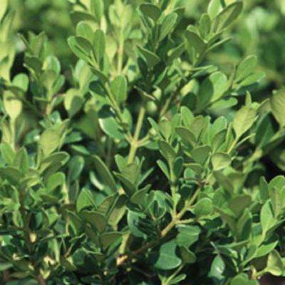 9.25 in. Pot - Wintergreen Boxwood, Live Shrub Plant, Glossy Dark Green Foliage