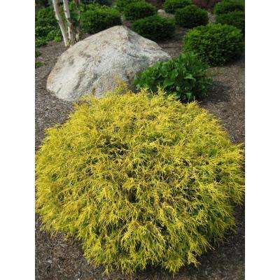 1 Gal. Kings Gold Threadbranch Cypress Shrub Brings Rich, Permanent Color to any Landscape