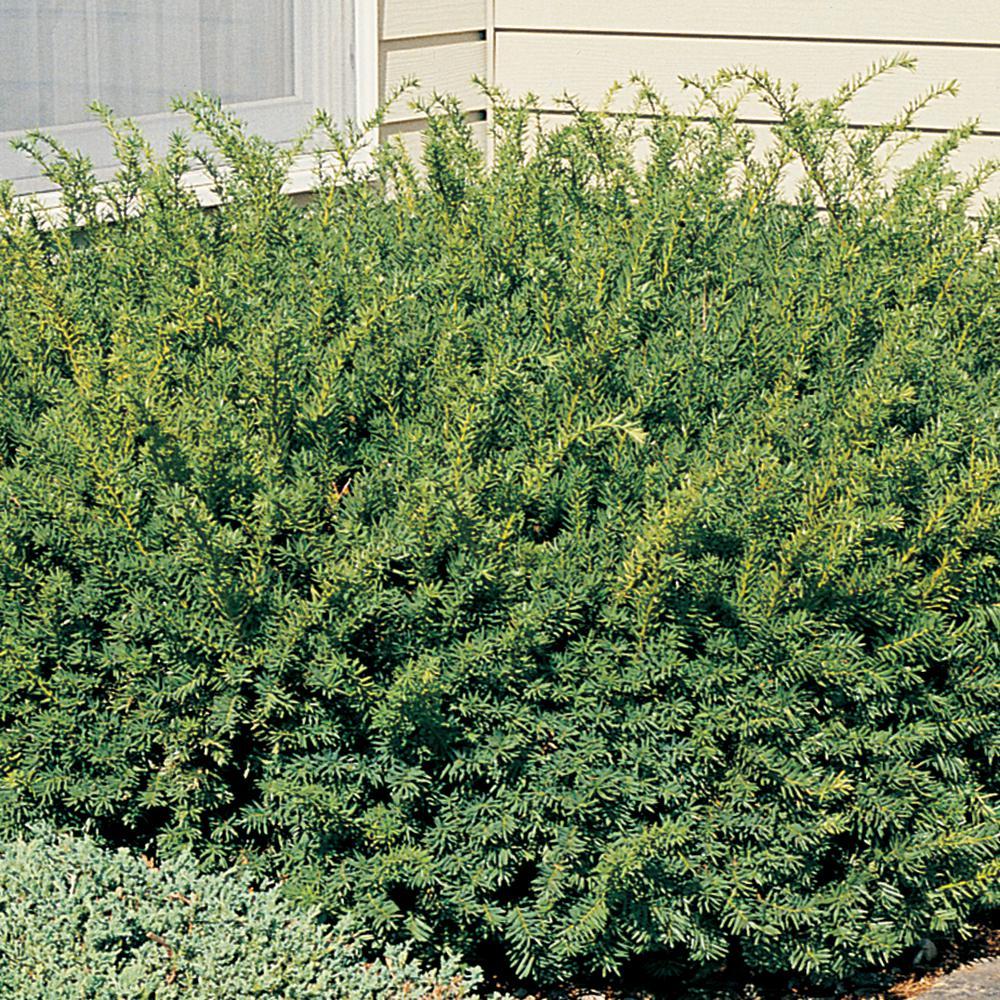 Hicks Yew Shrubs Bushes Plants Garden Flowers The Home Depot