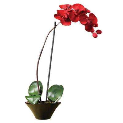 20 in. Holiday Phalaenopsis Orchid
