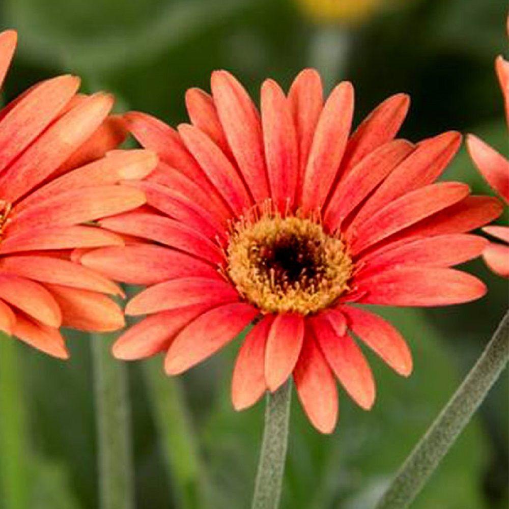 2 Gal. Orange Drakensberg Daisy With Light Centered Blooms, Live Perennial Plant