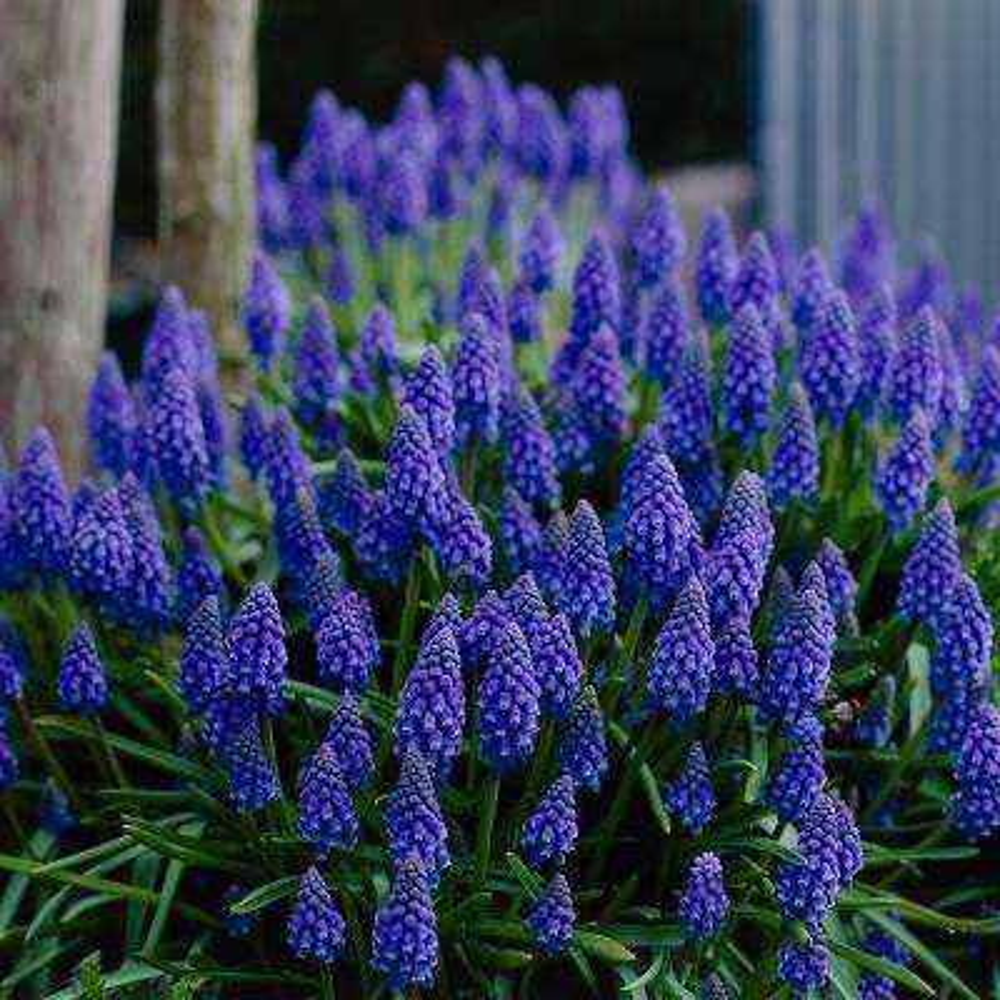 Grape Hyacinths (Set of 100)