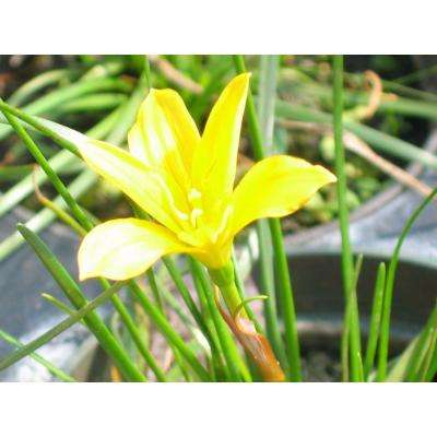 4 in. Yellow Rain Lily Potted Bog/Marginal Pond Plant