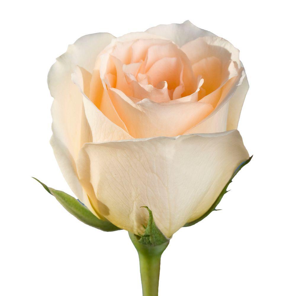 Fresh Peach Color Roses (250 Stems)