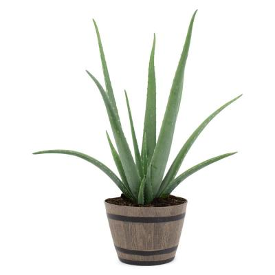 2.5 Qt. Succulent Aloe Vera Plant in 8 In. Resin Whiskey Barrel Pot