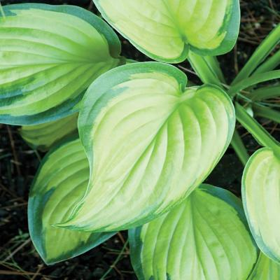 1 Gal. Stained Glass Hosta Plant