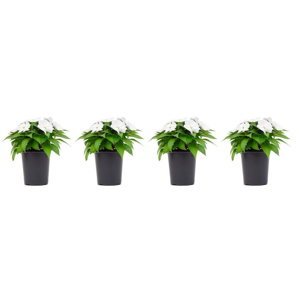 1 Qt. Sunpatien Impatien Plant White Flowers in 4.7 In. Grower's Pot (4-Plants)