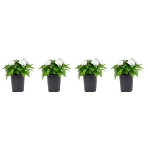1 Qt. SunPatiens White Impatien Outdoor Annual Plant with White Flowers in 4.7 In. Grower's Pot (4-Plants)