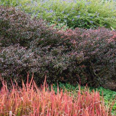 2.5 qt. Crimson Pygmy Dwarf Barberry (Berberis), Live Deciduous Plant, White Flowers with Red Foliage (1-Pack)