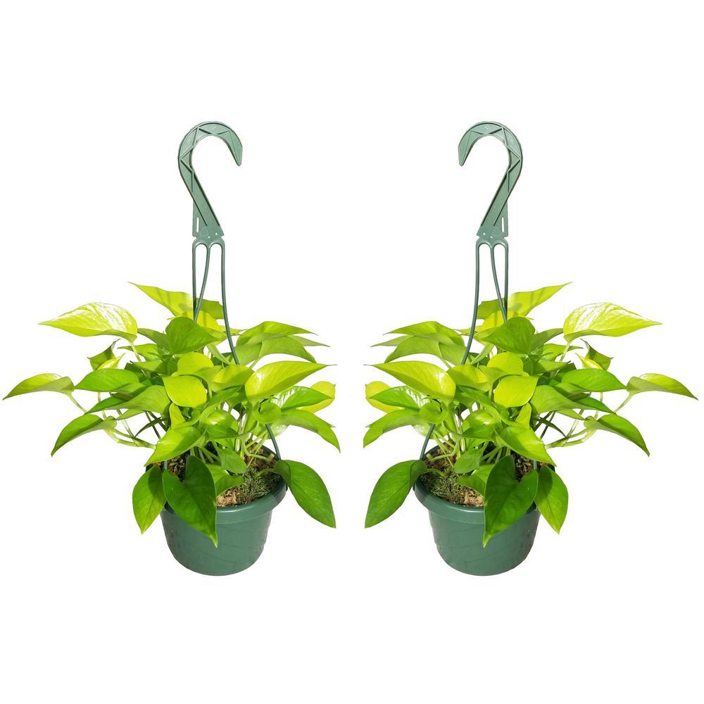 Neon Pothos Plant in 6 in. Hanging Basket (2-Pack)