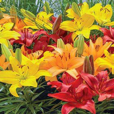 Asiatic Border Lilies Mixed Bulbs (10-Pack)