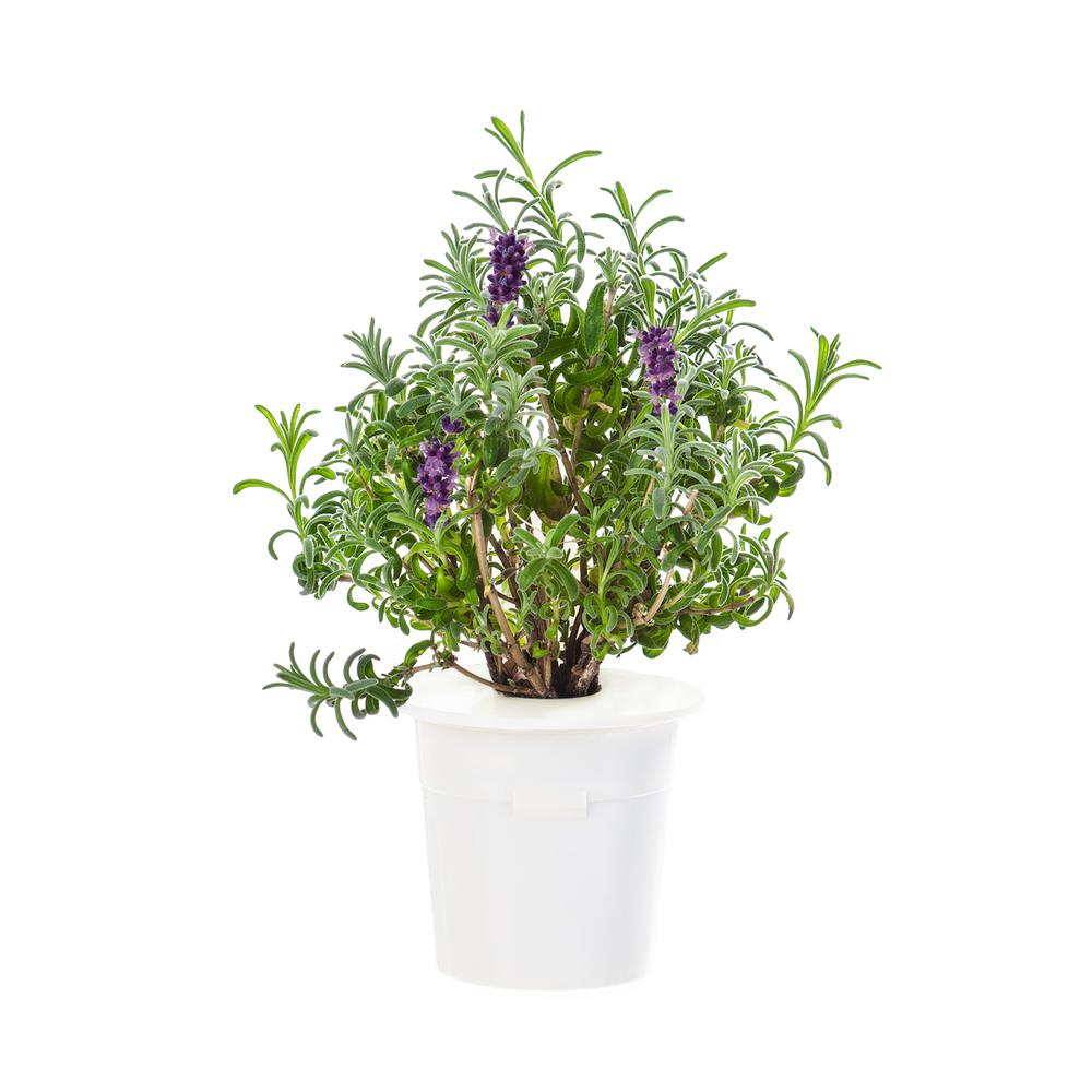 Lavender Refill (3-Pack) for Smart Herb Garden
