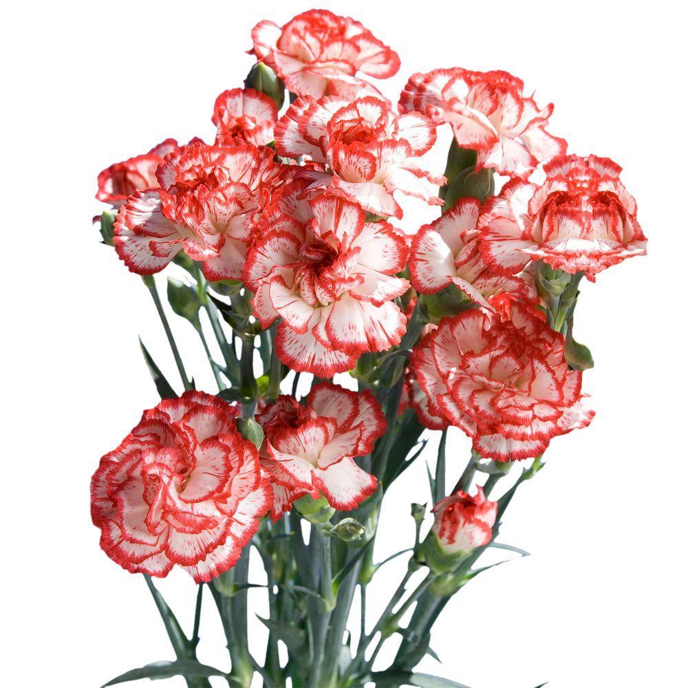 Globalrose Fresh Christmas Color Mini Carnations 160