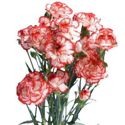 Fresh Christmas Color Mini Carnations (160 Stems - 640 Blooms)