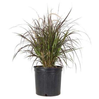 9.25 in. Pot - Rubrum Purple Fountain (Pennisetum)Grass, Live Plant
