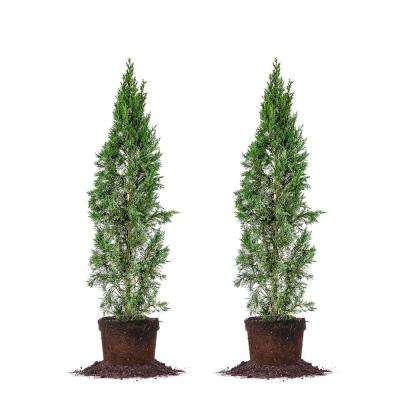 3 ft. to 4 ft. Italian Cypress Tree (2-Pack)