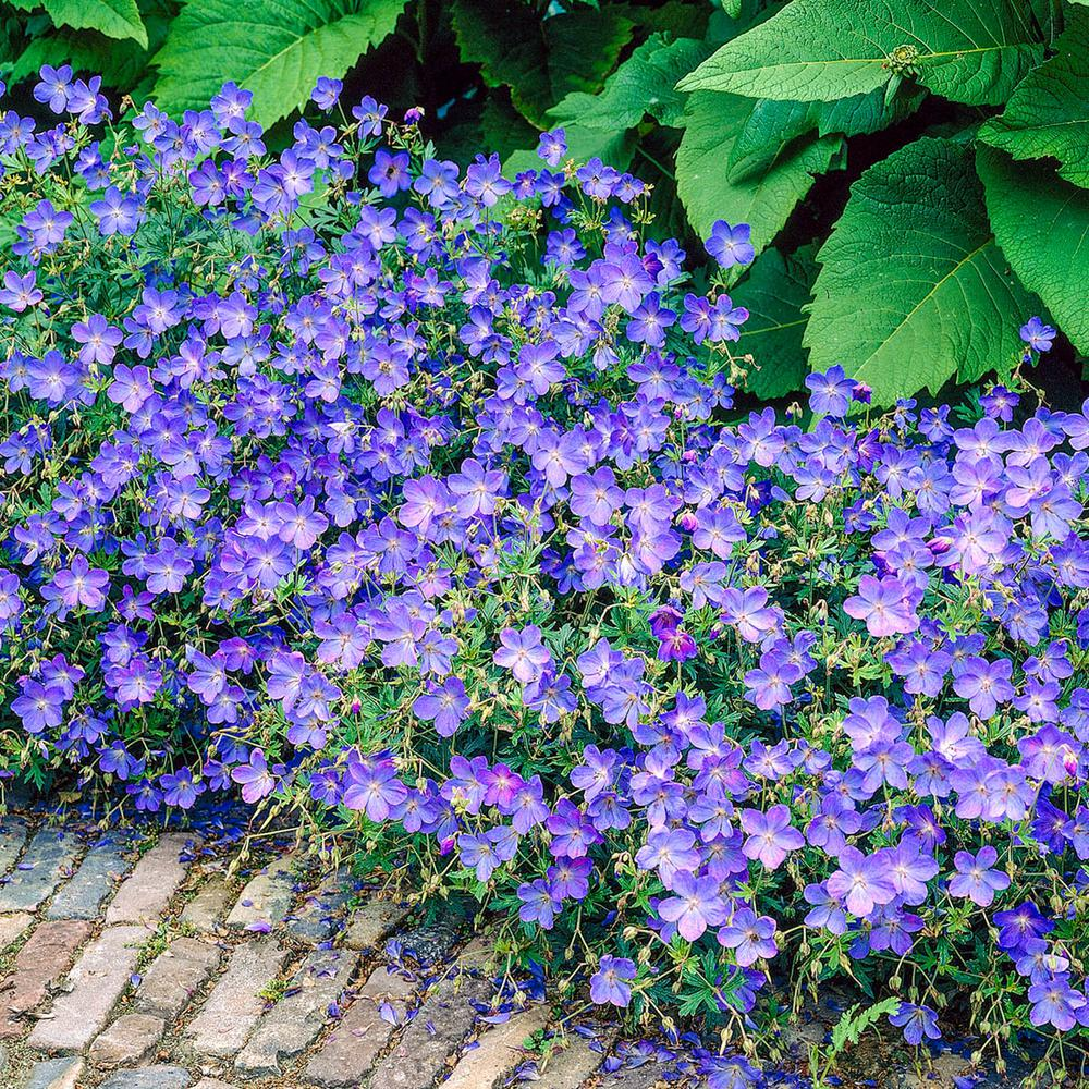 Spring Hill Nurseries Blue Flowers Fusion Everblooming Hardy Geranium Live Bareroot Perennial Plants 3