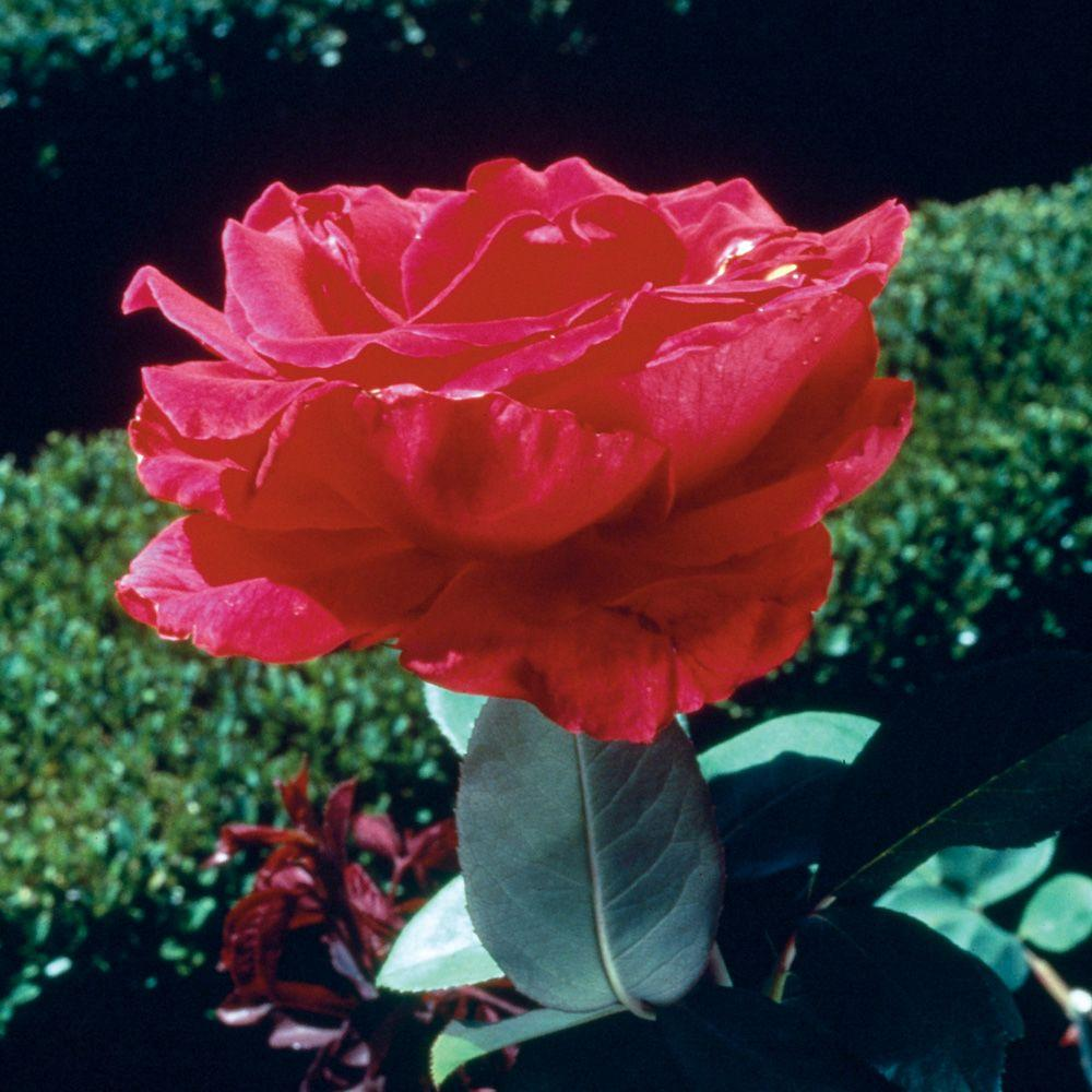 Mea Nursery All Time Favorites Rose Red Masterpiece