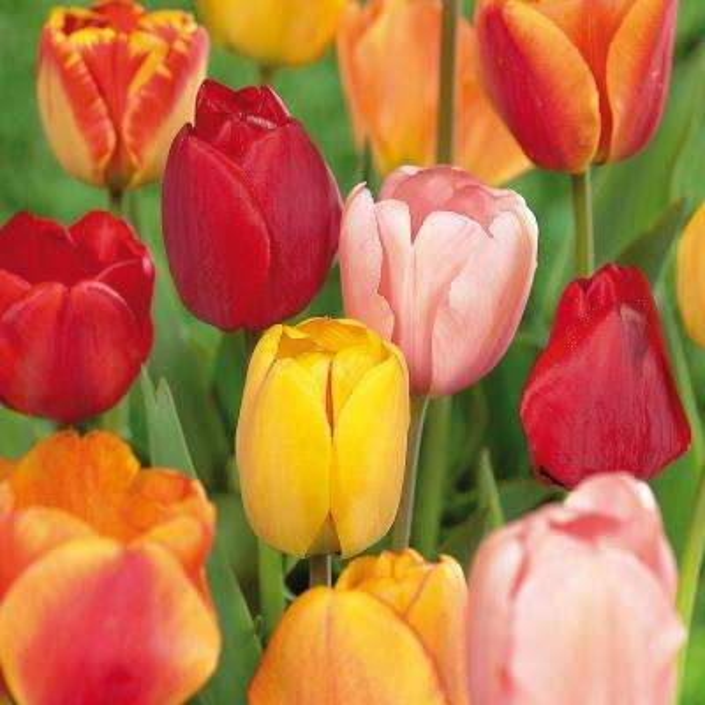 Tulips Bulbs Darwin Hybrid Mixture (Set of 100 Mammoth)