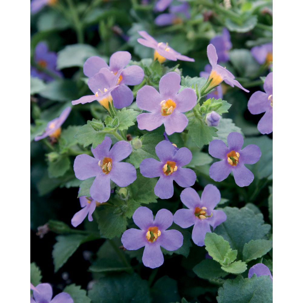 Snowstorm BlueBacopa (Sutera)Live Plant, Lavender-Blue Flowers, 4.25 in. Grande, 4-pack