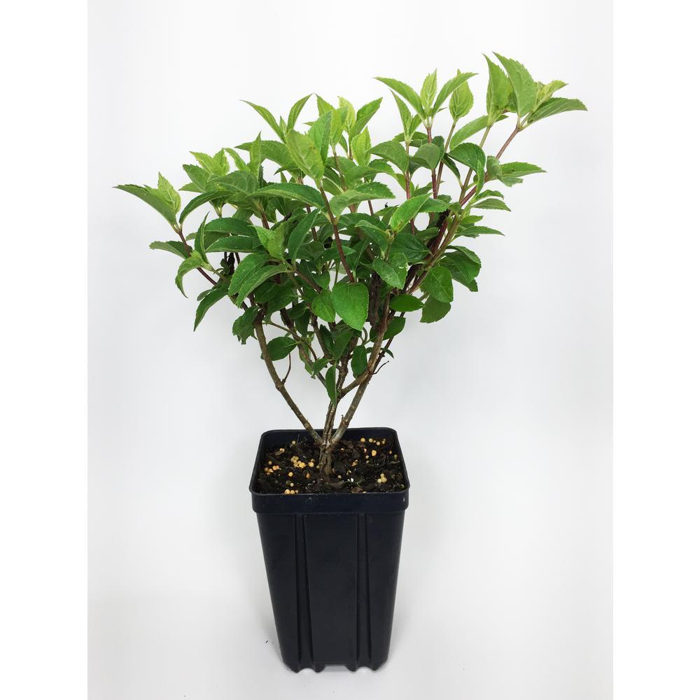 Proven Winners Pinky Winky Hydrangea Potted Flowering Shrub