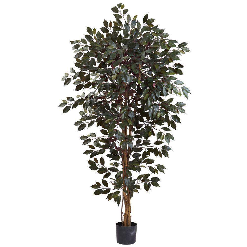 6 ft. Capensia Ficus Tree