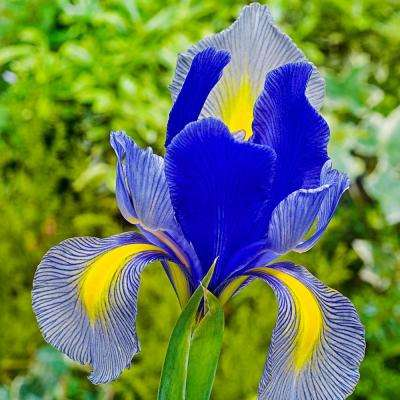 Gipsy Beauty Dutch Iris Bulbs