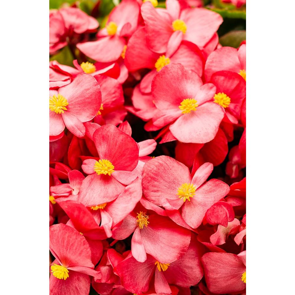 Proven Winners Surefire Red (Begonia) Live Plant, Red Flowers, 4.25 ...