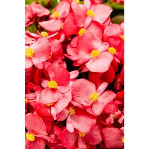 Surefire Red (Begonia) Live Plant, Red Flowers, 4.25 in. Grande