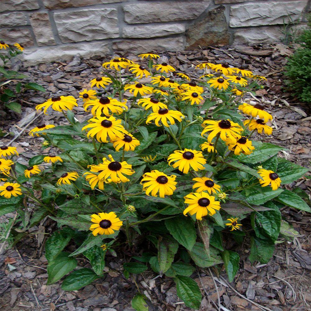 Yellow perennials garden plants flowers the home depot 1 gal black eyed susan plant mightylinksfo