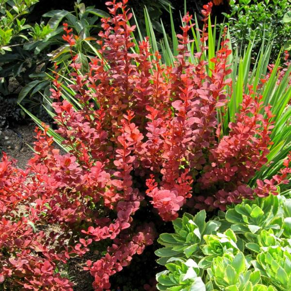 2.5 Qt. Orange Rocket Barberry, Live Deciduous Plant, Coral to Ruby Red Foliage