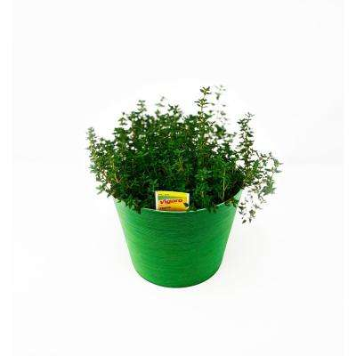Herb Plant Thyme in 6 In. Deco Pot