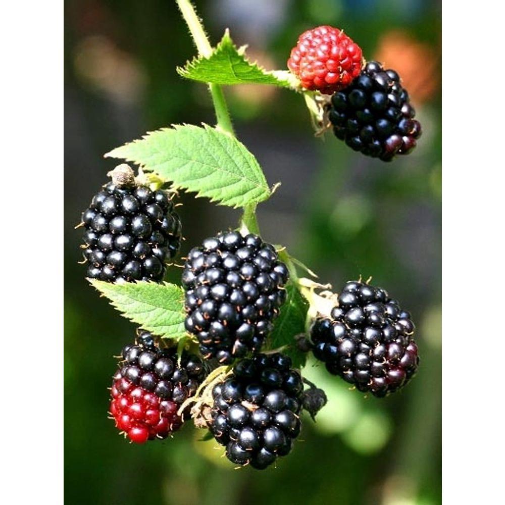 Black Satin Thornless Blackberry Fruit Bearing Potted Plant