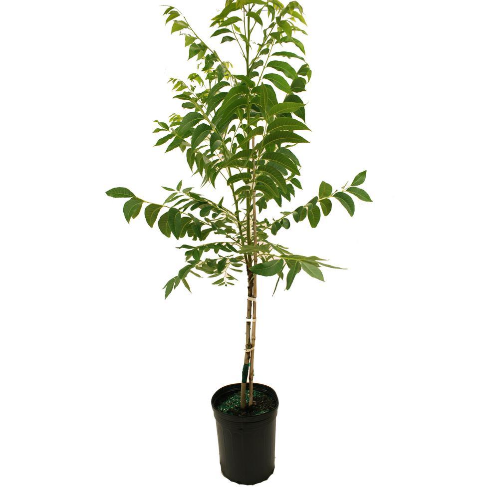 Ee Pecan Tree