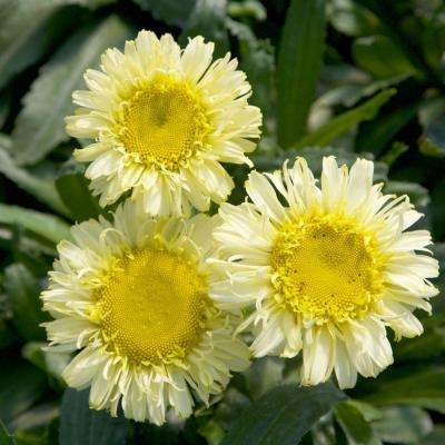 2.5 Qt. Real Charmer Leucanthemum, Live Perennial Plant, Yellow Blooms
