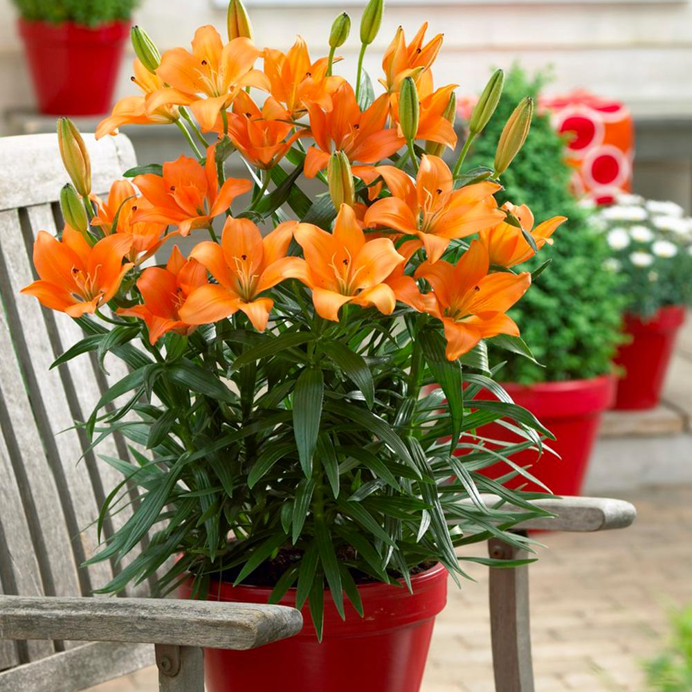 Van Zyverden Patio And Container Orange Lily Bulbs 7 Pack 83475