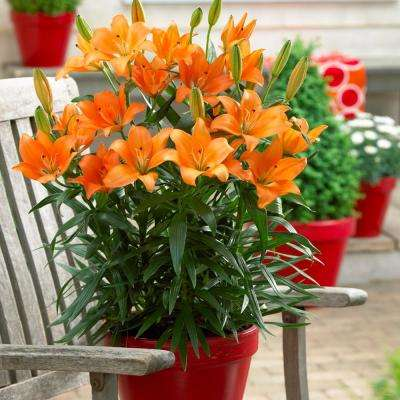 Patio and Container Orange Lily Bulbs (7-Pack)