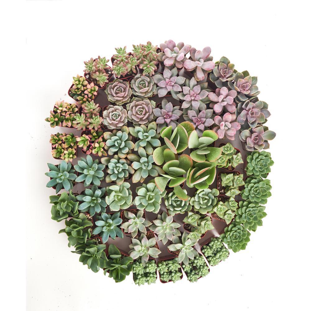 2 in. Premium Pastel Succulent (Collection of 100)