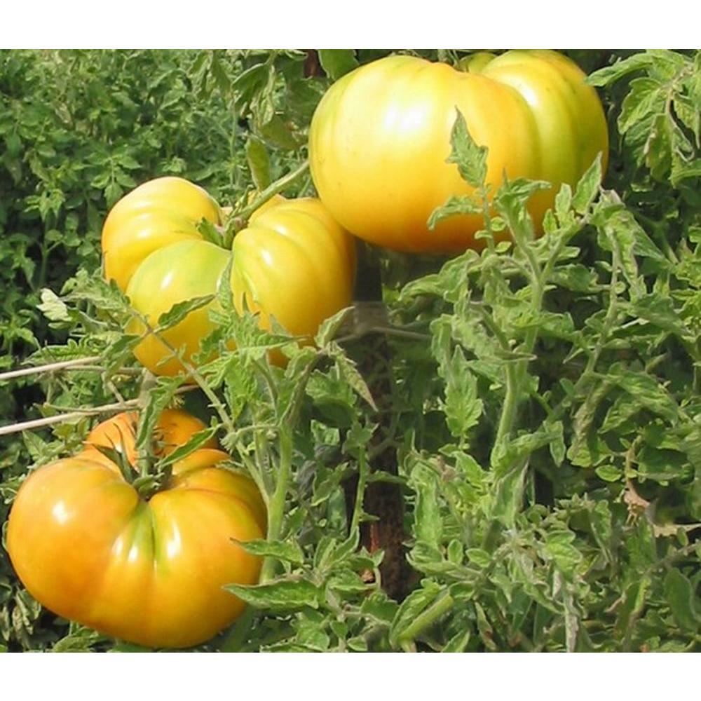 Hawaiian Pineapple HeirloomTomato, Live Plant, Vegetable, 4.25 in. Grande