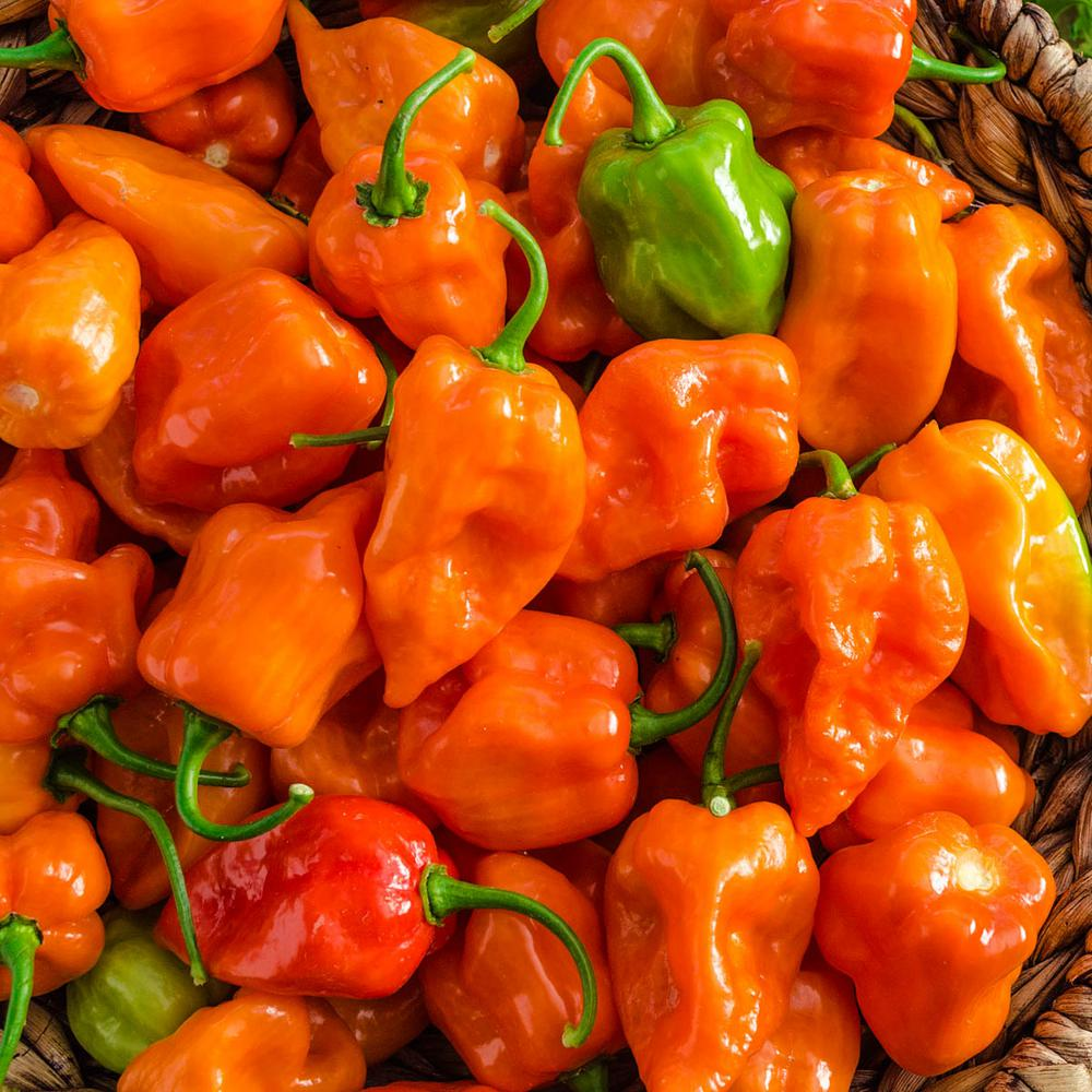 Hot Pepper Orange Scotch Bonnet Chili Pepper Seeds x 9 finest seeds